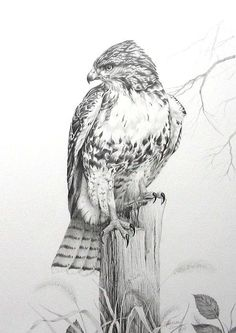 Red Tail Hawk Art Print by Teresa Einsig. All prints are professionally printed, packaged, and shipped within 3 - 4 business days. Card Tattoo Designs, Owl Tattoo Design, Wood Burning Stencils, Wood Burning Patterns, Bird Drawings, Animal Drawings, Hawk Tattoo, Red Tailed Hawk, Reclaimed Wood Wall Art