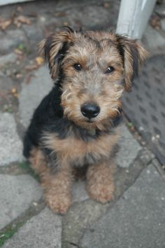 Atticus, Welsh Terrier, 3 months...Atticus would be another choice name!