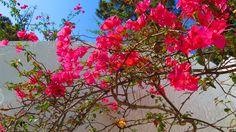 Pink Bougainvillea in Ischia. Part of the Ischia Review Gallery - www.ischiareview.com