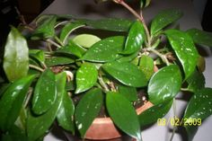64 Best Hoya Plants Images In 2014 Hoya Plants Indoor Plants