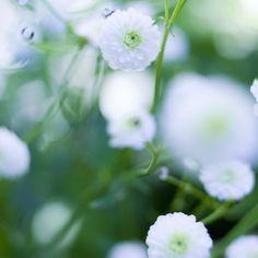 Stormhattsranunkel är en ljuvlig perenn som blommar länge i skuggan... som små vita rosor. I Victoria Skoglund