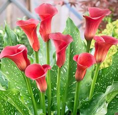 http://www.wholeblossoms.com/images/red-mini-calla-lilies-pulse.jpg