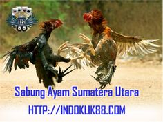 Sabung Ayam Sumatera Utara | Cara Bermain Sabung Ayam