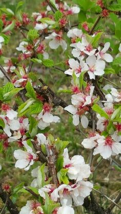 Apricot Blossom, Plants, Plant, Planets