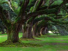 Live Oak Trees at Oak Alley Plantation ~ Vacherie, Louisiana Tree Wallpaper, Nature Wallpaper, Forest Wallpaper, Wallpaper Desktop, Desktop Backgrounds, Silk Wallpaper, Scenery Wallpaper, Wallpaper Murals, Wallpaper Online