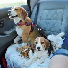"""Throw back to the day we picked up Baxter. Bundy and Baxter on the car trip home!! ❤️"