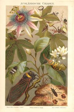 1892 Exotic Cicadas Original Antique Chromolithograph to Frame