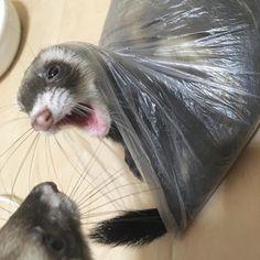 """134 Likes, 13 Comments - みさき (@misaki2213) on Instagram: """"うんち入れ袋を悪戯しちゃうぞ!#ferret #ferrets #パスバレーフェレット #パスバレー #フェレット部 #フェレット部 #フェレット大好き #ちくわ#うに#ferretism…"""""""