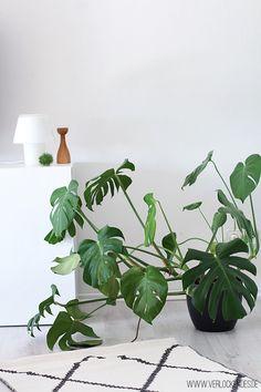 Koala Poster Skandinavian Home Monstera Plants