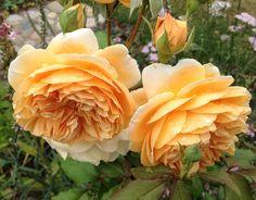 Rose 'Crownprincess Margareta'.