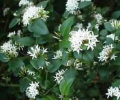 Carissa Bispinosa in flower Forest Num-num Bosnoemnoem 5 m S A no Photo:G Nichols Knysna, 2 Photos, Shrubs, Flora, African, Garden, Plants, Medium, Image