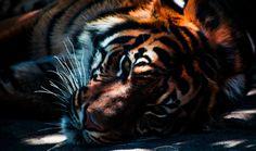 El rugido del tigre se apaga: sólo quedan 3.200 en el mundo