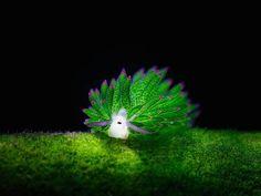 orangeflower08 @orangeflower08  5月13日 【再掲】「葉っぱのヒツジ」と呼ばれる、『テングモウミウシ』  http://www.fubiz.net/en/2015/07/27/the-adorable-sea-sheep/ …  夏が近づいてきたから、この可愛いウミウシをあげておこう。藻を大量に食べるので、そこから葉緑体を吸収して光合成できるのよ。