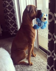 Godzilla takes down her mortal enemy& bear. Cute Dogs And Puppies, Baby Dogs, I Love Dogs, Boxer And Baby, Boxer Love, Boxer Dog Puppy, Dog Cat, Boxer Dog Quotes, Boxers