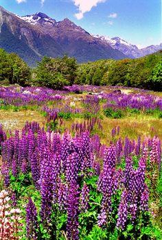 Wild Lupins, New Zealand.
