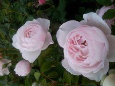 SAINT CECILIA - DAVID AUSTIN Rose - Rose Sales Online