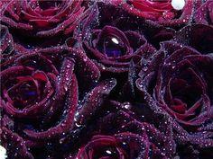 Dark roses after rain