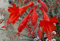 Zauschneria Catalina, The flowers of California Fuchsia from the Channel islands.
