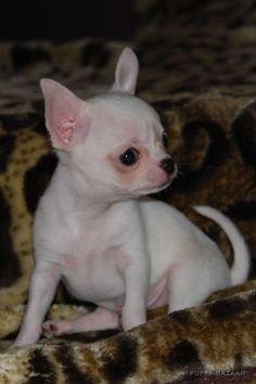 For sale: Chihuahua - Female /  Reng?hegyi-ormán Laila