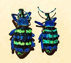 File:Curculionidae - Eupholus magnificus.JPG