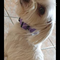 Happy customer in this cute purple polka dot collar.  Order yours from my Etsy store.  Link in Bio