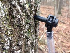 Making Homemade Maple Syrup: How to Choose Maple Taps Bee Syrup, Maple Syrup Tree, Maple Syrup Evaporator, Tapping Maple Trees, Acer Trees, Homemade Maple Syrup, Sugar Bush, Wild Edibles, Down On The Farm