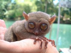Filipino Tarsier. So cute, I want one.