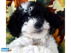 Toy Labradoodles Most people who visit our site are looking for the specific qualities inherent in this breed. ACC Ranch puppies offer the ideal breeding proportion in terms of ...