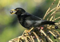 Foto sabiá-una (Turdus flavipes) por Lindolfo Souto | Wiki Aves - A Enciclopédia das Aves do Brasil - Lá vai outro prato de frutos da palmeira , que nos dá o palmito juçara .