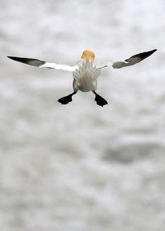 pennysartroom:  fairy-wren:  Northern Gannet. Photo by ebirder  Great picture-in flight