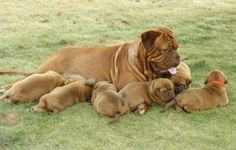 Douge de Bordeaux. Mom and pups Omg I am obsessed!!