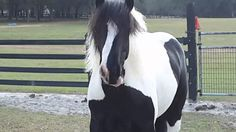 Fancy's Stunning Double Mane and Crazy Feather!