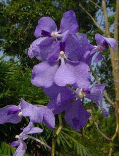 A Vanda coerulea é uma bela espécie de orquídea epífita do sudeste da Ásia Continental, é de cultivo fácil e com inúmeras flores em ton...
