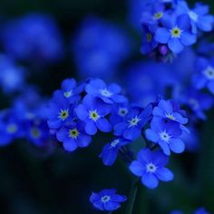 Aesthetic Myosotis sylvatica forget-me-not flowers wallpapers 1024x1024 (04)   iPad, Nexus 7, Kindle Fire HD, Surface, Galaxy NOTE
