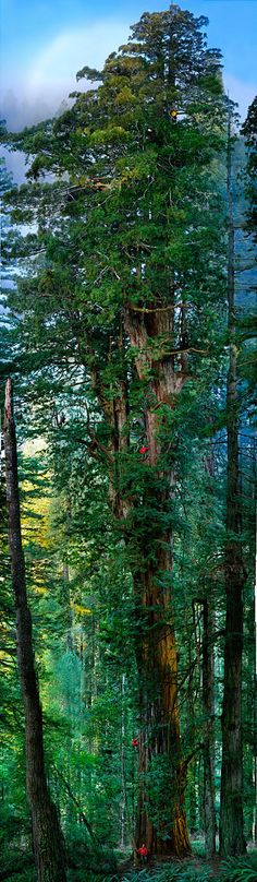 1600-year old redwood ~ Prairie Creek Redwood State Park, California. Photo by Nick Nichols for National Geographic.