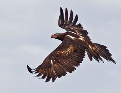 """Wedge-tailed Eagle"" they always grab my attention"