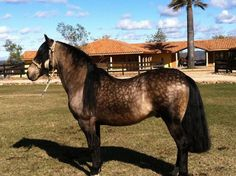 Horse of Chile , caballo pura raza chilena . Horse Caballo, Island Horse, Horse Armor, Conquistador, Horse Breeds, Donkeys, Beautiful Horses, Pet Birds, South America