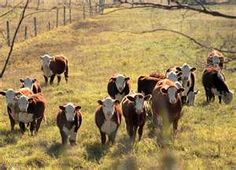 Nothing better than a beautiful field full of Hereford cattle!