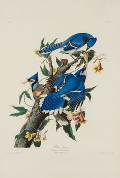 Blue Jay ARTIST / MAKER: John James Audubon, 1785 - 1851 COLLECTION: American Art DATE: 1830 CLASSIFICATION: Prints MEDIUM: hand-colored engraving and aquatint on paper DIMENSIONS: Frame: 43 3/4 x 33 3/8 in. (111.1 x 84.8 cm) Image (plate): 25 3/4 x 20 5/8 in. (65.4 x 52.4 cm) CREDIT LINE: Gift of Betsy Main Babcock CREDIT LINE REPRODUCTION: Reynolda House Museum of American Art Rights & Reproductions Information OBJECT NUMBER: 2002.3.1