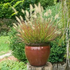 Burgundy Bunny Dwarf Fountain Grass (Pennisetum alopercuriodes 'Burgundy Bunny') is the cute little plant that packs a punch of color and textural contrast every gardener is looking for. Red foliage i                                                                                                                                                                                 More