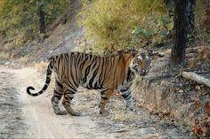 Endangered yet revered - the tiger