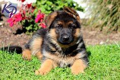 Sarge – German Shepherd Puppy  www.keystonepuppies.com  #keystonepuppies  #germanshepherd