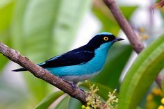 Black-faced dacnis (Dacnis lineata)  is a species of South American tanager found in Venezuela, Bolivia, Brazil, Colombia, Ecuador, French Guiana, Guyana, Peru and Suriname.