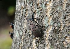 Efforts to contain spotted lanternfly get assist from students at Kutztown, Penn State | Reading Eagle - BERKSCOUNTRY The lanternfly, an invasive southeast Asian moth, has an appetite for grapes, fruit trees and hardwood trees - See more at: http://www.readingeagle.com/berks-country/article/efforts-to-contain-spotted-lanternfly-get-assist-from-students-at-kutztown-penn-state#sthash.a4azFg7b.dpuf