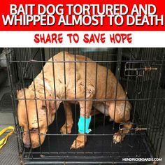 """BAIT DOG whipped almost to death. ➤➤ http://hendrickboards.com/s/hope-nyc A disgusting case of abuse by those cowards who fight dogs. Not only was HOPE kept as a bait dog and attacked over and over. When they were done with her they whipped her repeatedly almost to death. We have partnered with Second Chance Rescue NYC Dogs to create the """"Save The World"""" tees & more to help us raise funds needed for Hope's care. You can donate or purchase an item to help show Hope the 2nd chance she…"""