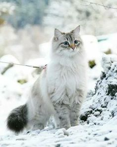5 Winter Cat Grooming Tips To Help Kitty's Coat Through The Cold, Dry Months - unknown animals Pretty Cats, Beautiful Cats, Animals Beautiful, Cute Cats And Kittens, Kittens Cutest, Cute Baby Animals, Funny Animals, Funny Cats, Animals Images