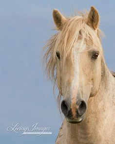 The famous wild stallion Cloud, in a quiet moment, as he stands at the top of the hill in the Pryor Mountains of Montana.  This is a fine art print, signed by Carol Walker- Fine Art Wild Horse Photograph.  #horse #equine