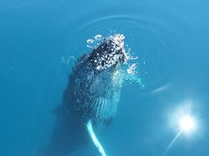 Migrating whales in Hervey Bay.