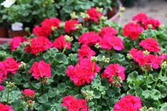 Love this deep red colour on Geranium. Perfect for pots and containers. Red Colour, Deep Red Color, Colorful Garden, Geraniums, Pots, June, Planters