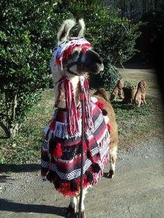 Llama KLR Twist in a costume I made for him.